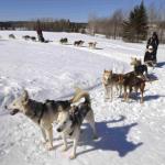A la fête quand le thermomètre descend sous les moins 10°, les meutes d'Alaskans filent ventre à terre sur les sentiers enneigés.