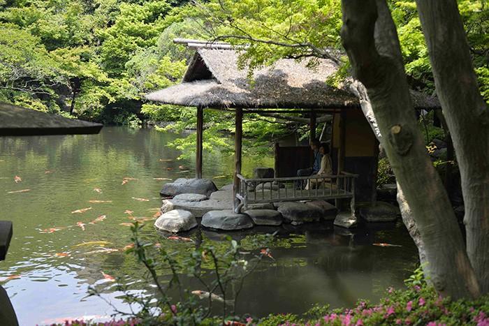 Insensibles au tumulte de la capitale japonaise, des carpes koïs nagent tranquillement dans les étangs du jardin Happo-en.