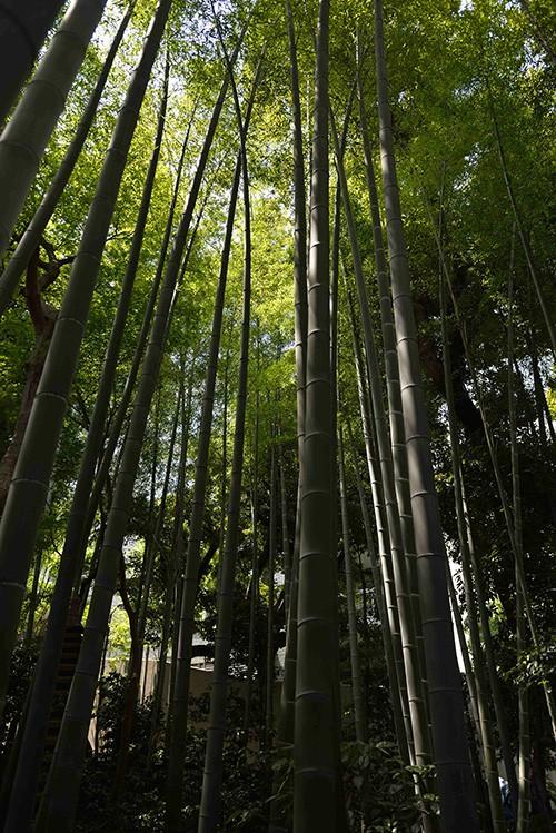 Qu'elle semble loin aux visiteurs, la futuriste Tokyo Sky Tree, entourés qu'ils sont par la skyline végétale de la bambouseraie du jardin Happo-en.