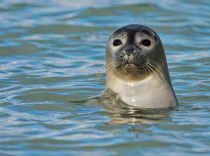 Une colonie de phoques, dans la baie d'Authie. © Olivier Caenen