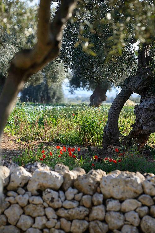 Il y a des oliviers centenaires et des murets de pierres sèches le long des allées.
