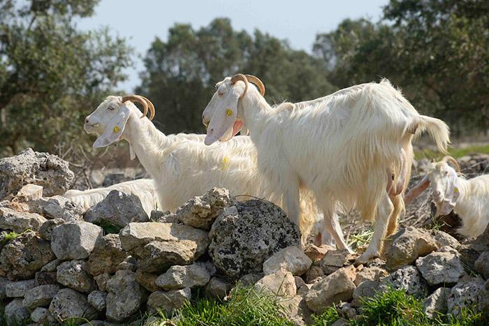 Il y a des vignes aussi, et  cà et là quelques chèvres espiègles.