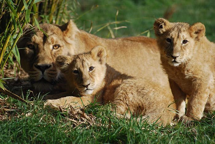 lionceaux tigres Parc Pal
