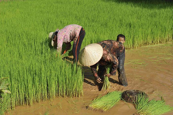 Rizieres - Siem Reap