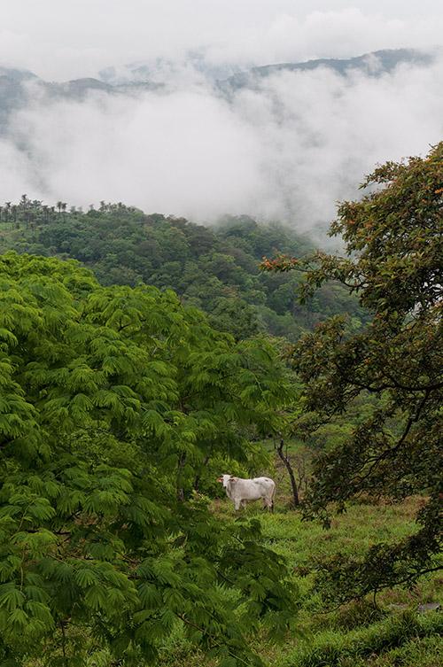 Point de gorilles bien sûr au Costa Rica, mais des vaches esseulées dans la brume, dessinant un tableau poétique attendri de vert. Une sorte de Douanier Rousseau grandeur nature.