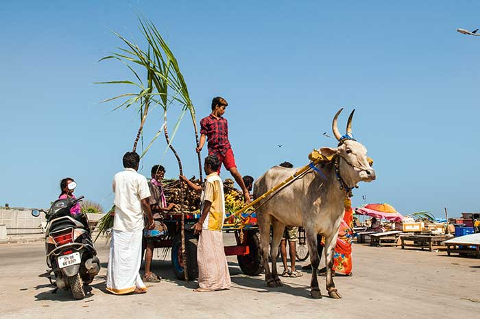 Témoignage d'une vie rurale toujours présente dans un état de l'Inde parmi les plus industrialisés, un char à bœuf se charge de cannes à sucre.