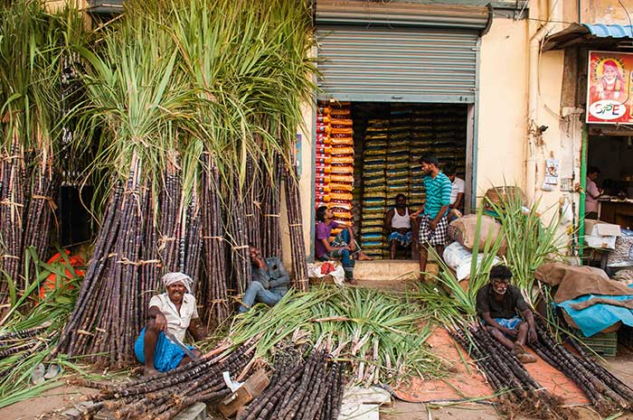 Son abondance participe à la célébration de Pongal à la mi-janvier. Cette fête des moissons rend grâce au soleil, aux vaches, aux dieux, et rassemble les familles dans une ambiance joyeuse.