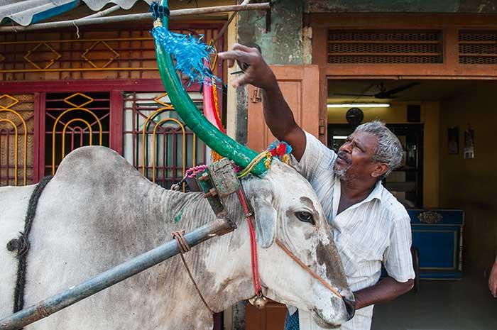Au troisième des quatre jours que dure la célébration de Pongal, les vaches sont lavées, nourries et apprêtées pour la fête.
