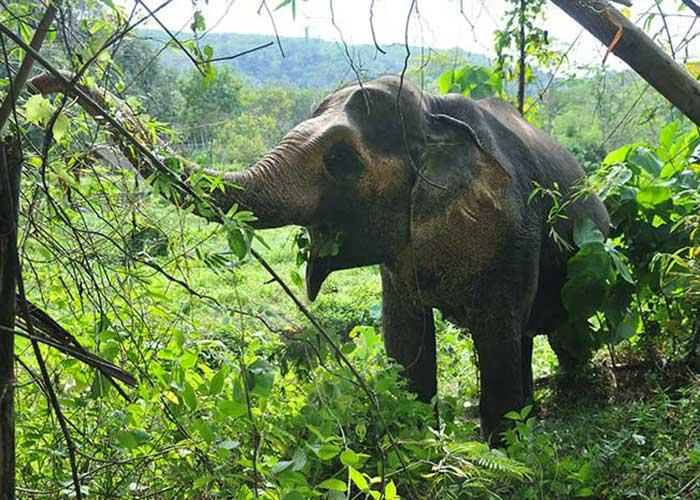 La Thaïlande ayant banni l'exploitation des forêts naturelles en 1989, des organismes comme le Phuket Elephant Sanctuary préservent les pachydermes qui servaient aux travaux forestiers.