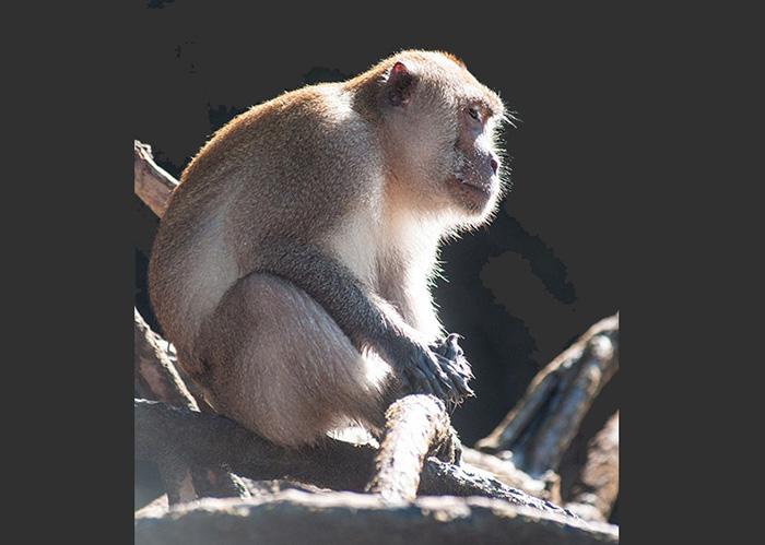 Dans la mangrove, des macaques pêcheurs de crabes.