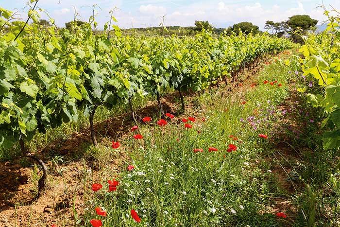 Aux Embiez (en photo) comme à Porquerolles, les vignes font partie du paysage des îles de la Méditerranée, donnant des rouges, blancs et rosés typés aux notes marines. © Sarah Sergent