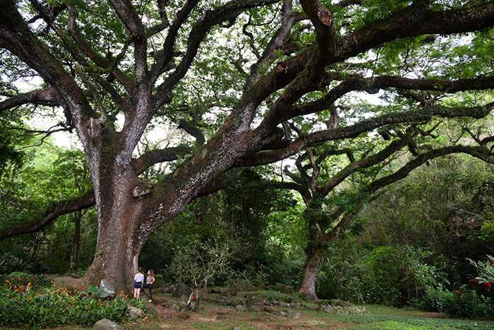 """Fondée au XVIIIe siècle et parmi les plus anciennes exploitations sucrières de Martinique, l'habitation Céron abrite un gigantesque zamana, un """"arbre à pluie"""" presque aussi vieux qu'elle."""