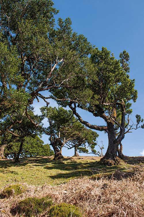 Des lauriers à perte de vue comme ceux qui recouvraient une bonne partie du sud de l'Europe il y a 15 millions d'années : Madère abrite la plus grande forêt primaire laurifère au monde. Un conservatoire de la biodiversité le plus souvent couvert de brume.